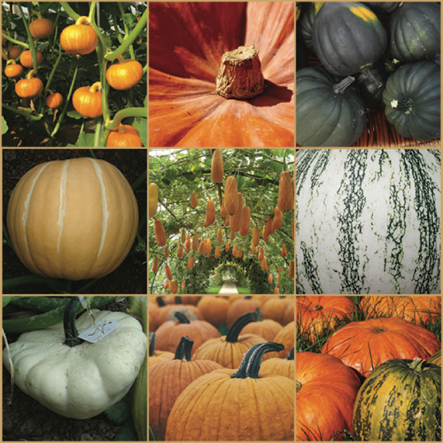 Pumpkin genomes sequenced revealing uncommon evolutionary history