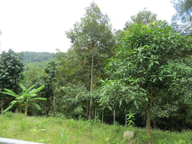 Дерево с дурианами
