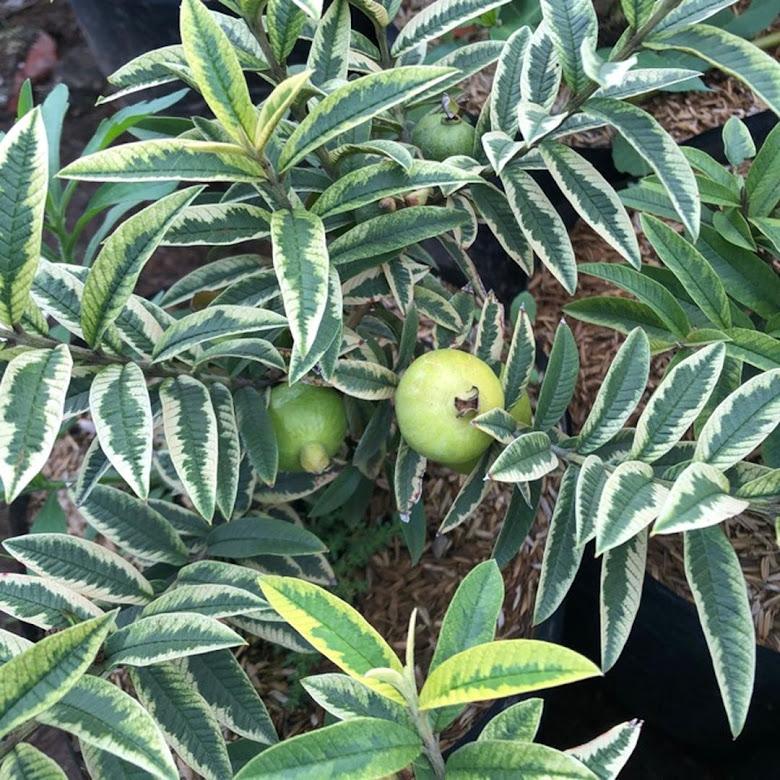 Bibit tanaman jambu varigata Pematangsiantar