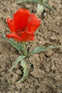 Tulipe de Eichler - Tulipa eichleri - Tulipa undulatifolia