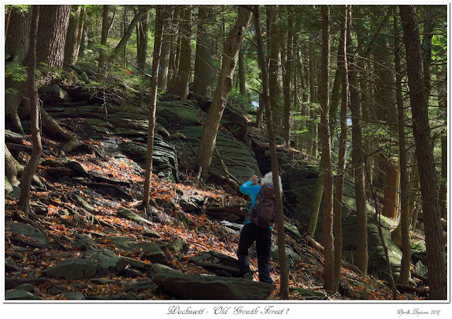 Wachusett: Old Growth Forest?