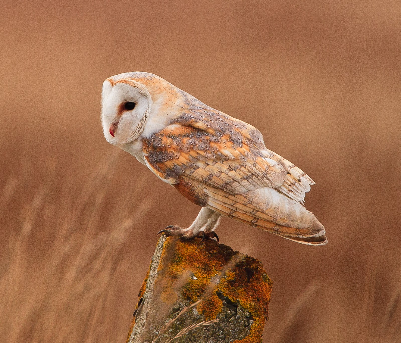 barn owl sounds - HD 1600×1370