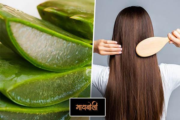 aloe vera for Silky Hair Tips In Marathi