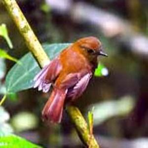 Mustika Burung Sulingan
