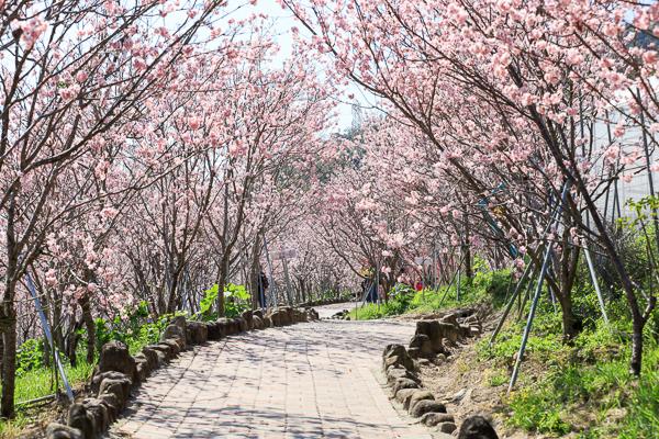 櫻花鳥森林上千棵櫻花結合蜀葵花、小火車、露營、美食、鸚鵡放飛秀
