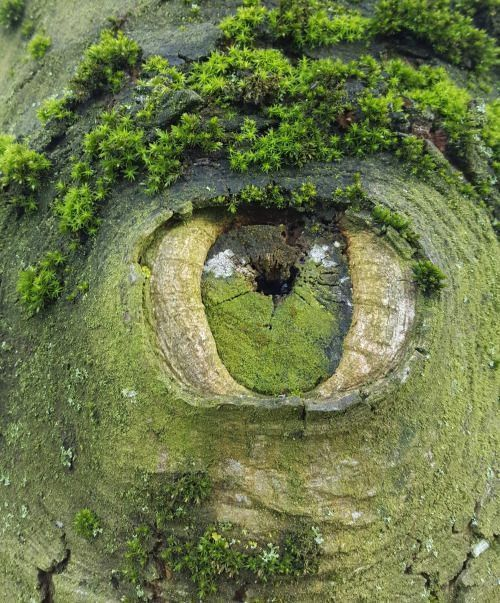 A knot in a green coloured tree trunk that looks like an eye.