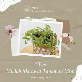 4 Tips Mudah Merawat Tanaman Mint