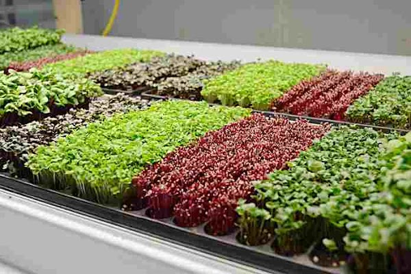 Cara Bercocok Tanam Sayuran Dirumah Dengan Menerapkan Konsep Microgreen