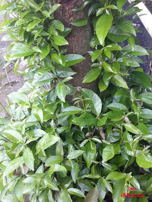 Pohon daun salam. Kehijauan Rerumputan dan Dedaunan - Greeny Grasses