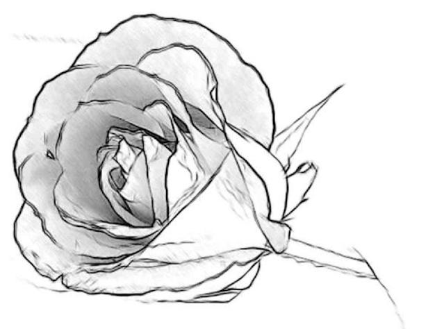 sketsa bunga mawar
