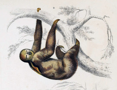 three-toed sloth, Charles Dessalines d'Orbigny, 1849