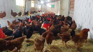 Marmara Ereğlisi tavuk-yarka-civciv-hindi