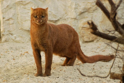 Jenis Kucing Jaguarundi