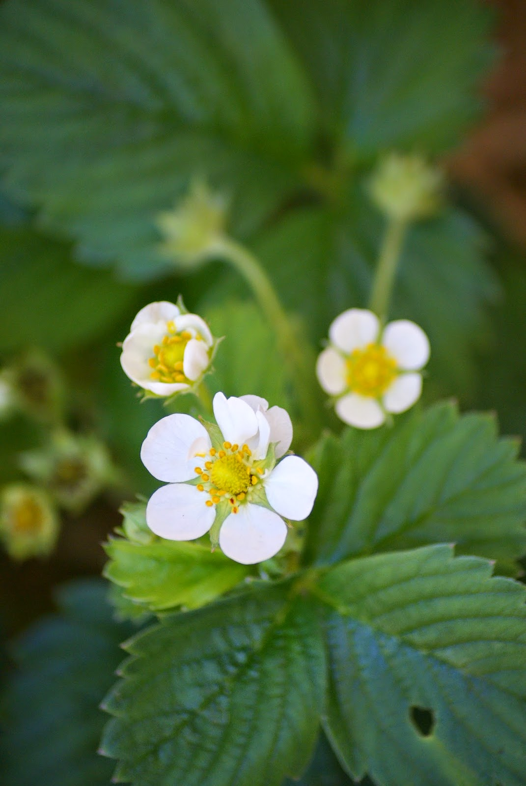 Strawberry Flowers Growing in the Garden