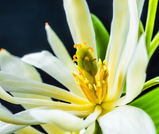7 Manfaat Bunga Cempaka Wanita Harus Tahu