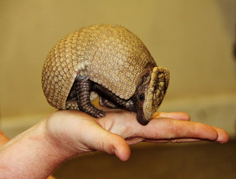 Baby Animals: A rare Southern Three-Banded Armadillo - Pup 1