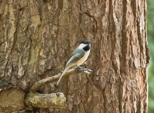 Black-capped Chickadee - Hartwick Pines, Michigan, USA