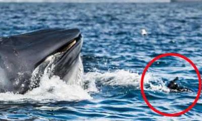 شاهد كيفية نجاة تلك الفتاة من ابتلاع هذا الحوت الضخم لها