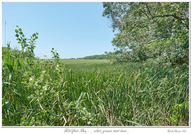 Wellfleet Bay: ... where grasses meet trees...
