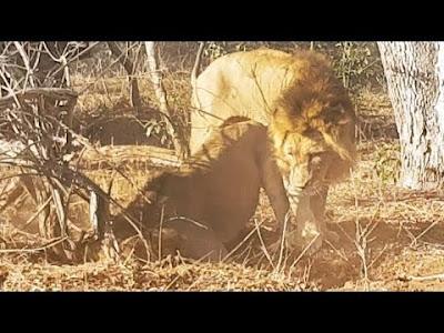 Perburuan singa jantan besar
