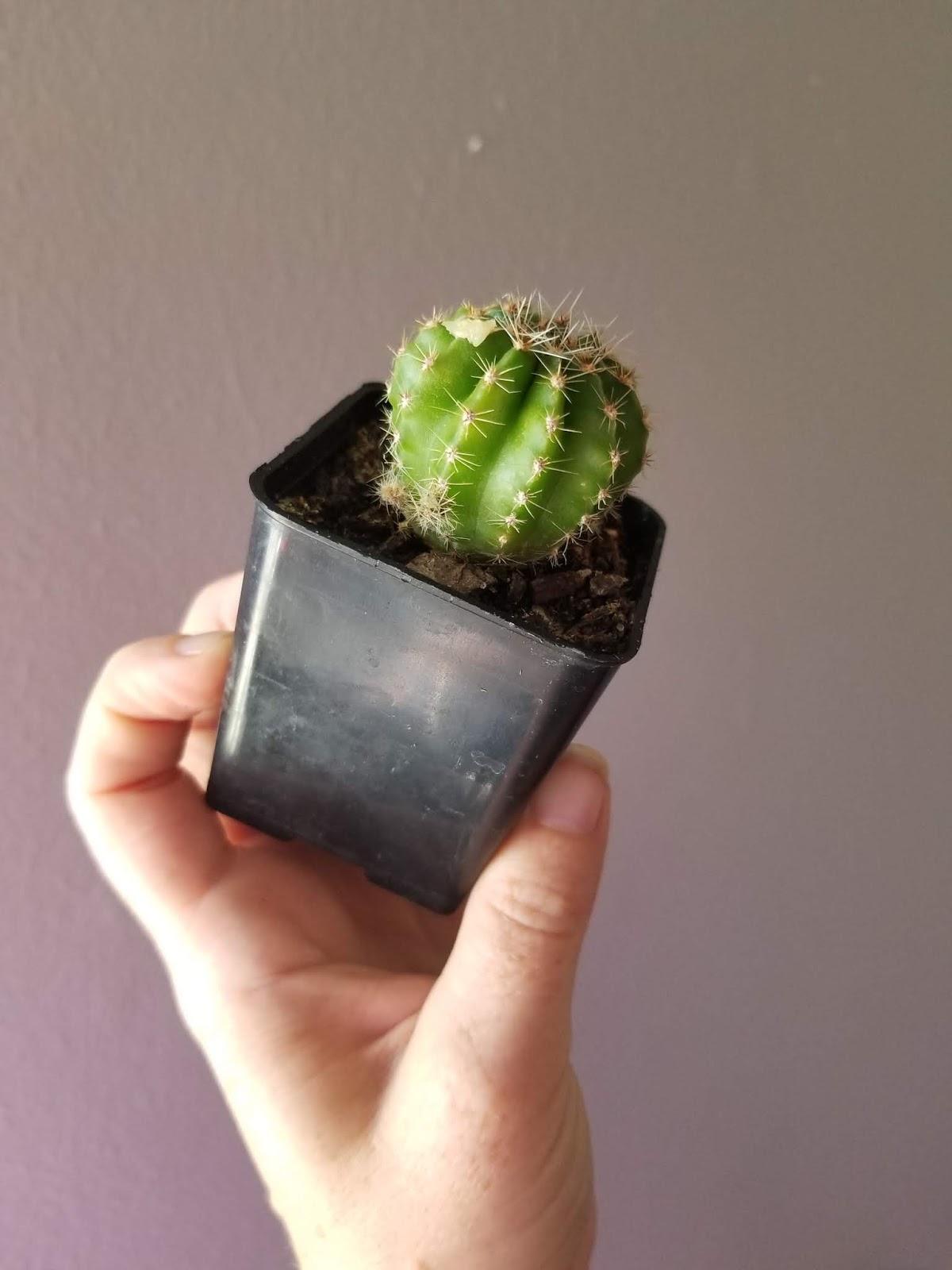 Grandiflora - 9 months