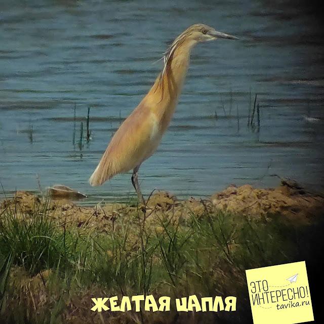 желтая цапля на озере Кызыл Яр, Крым