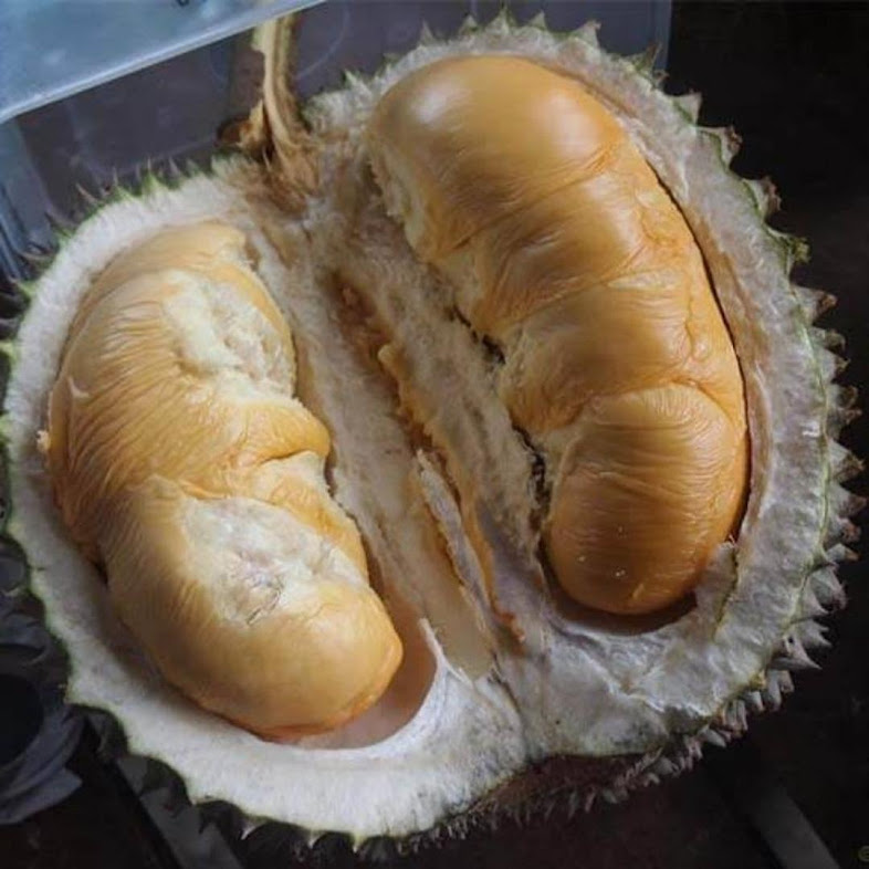 bibit durian duri hitam durian oche d24 Palu