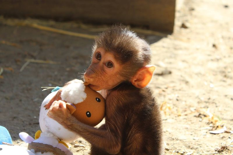 Baby Animals: Baboon infant 12