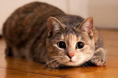 jenis-kucing-di-dunia