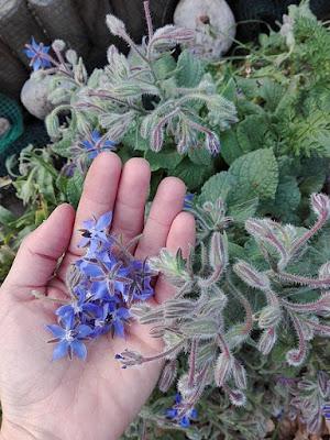 Raccogliere nell'orto erbe da seccare: borragine