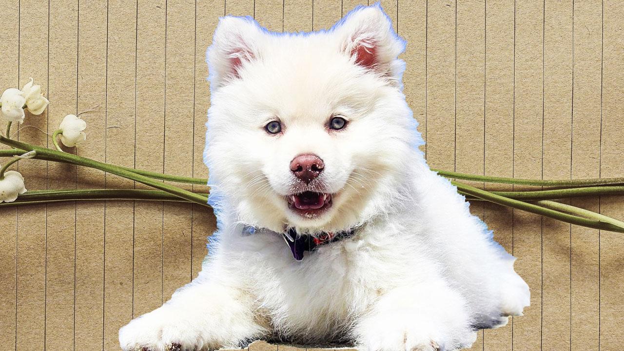 spitz, Finnish Lapphund