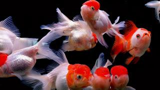 Red Cap Oranda Goldfish Community Aquarium HD Wallpaper