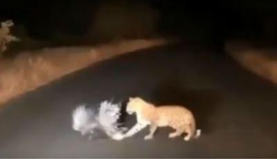 Macan tutul berburu landak