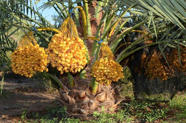 Pohon Kurma Berhasil Tumbuh di Bengkulu, Sekali Panen Tembus Rp300 Juta