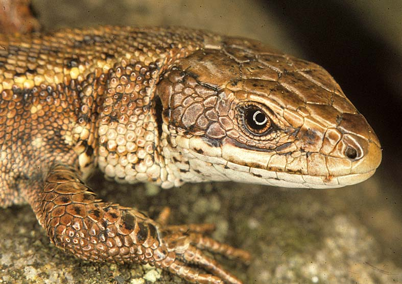 5 Modern Reptiles That Give Birth to Live Young | MorgansLists