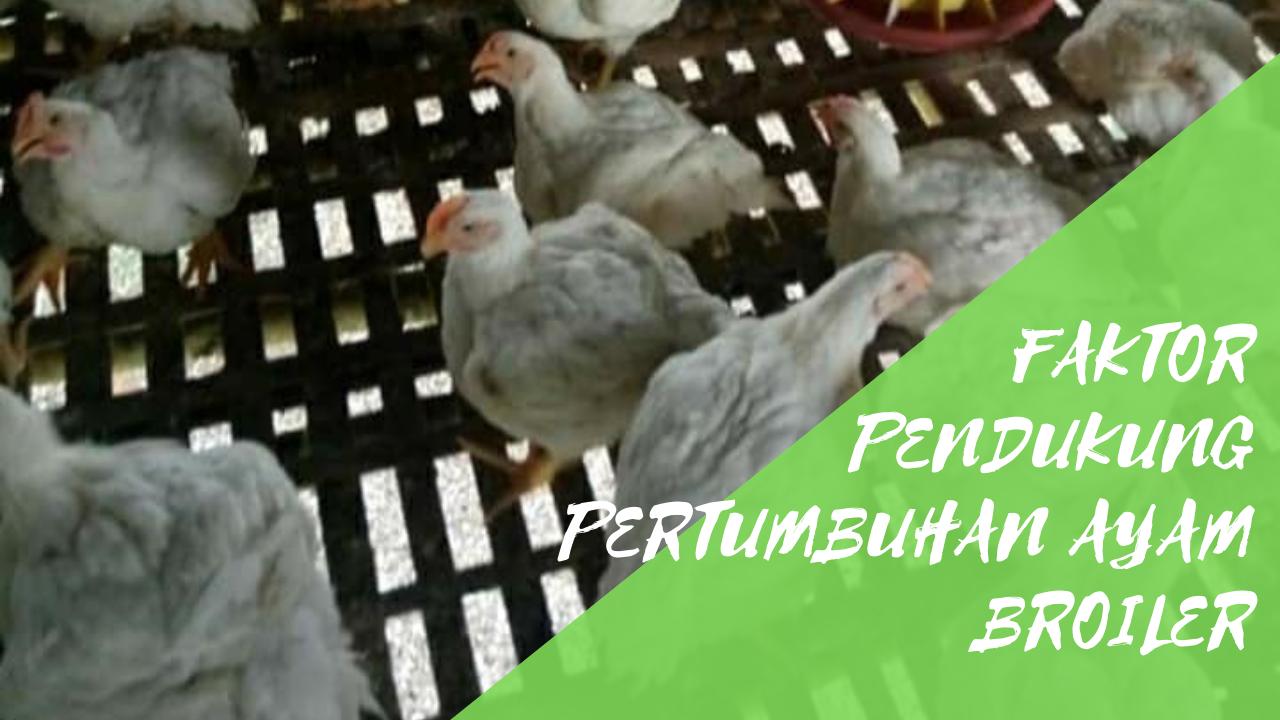Faktor Pendukung Pertumbuhan Ayam Broiler