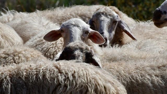 Άμεσα μέτρα στήριξης της πρωτογενούς παραγωγής και κυρίως της αιγοπροβατοτροφίας