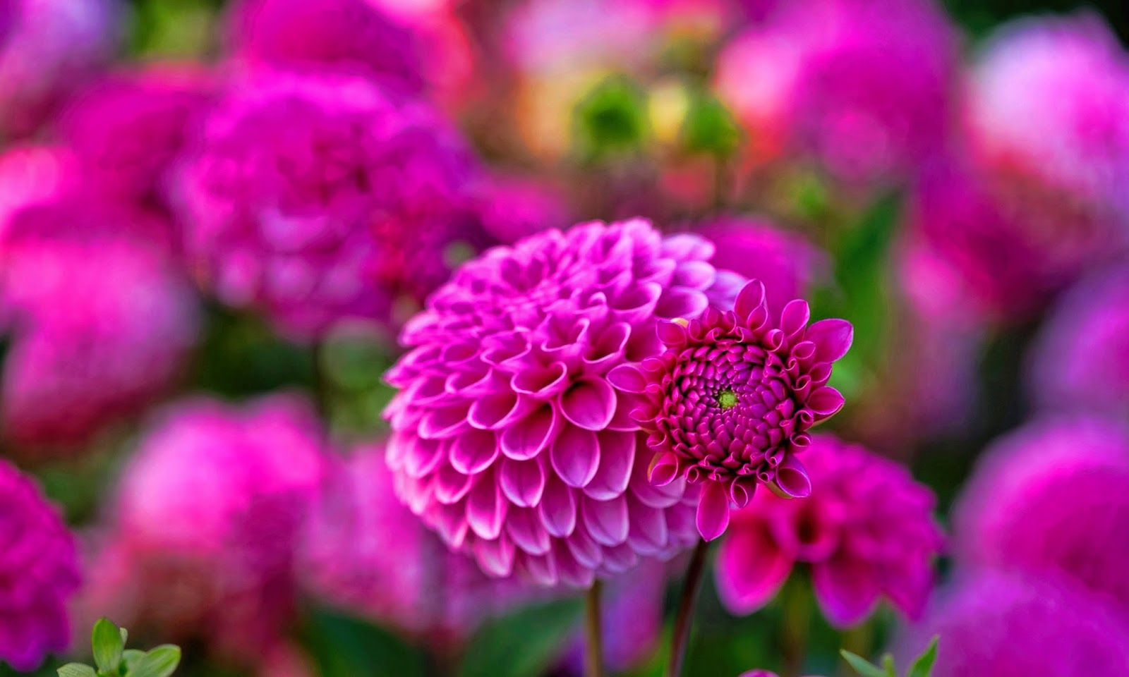 Dahlia Flower HD Wallpapers