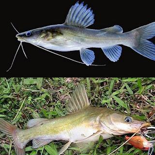 Rengkik Baung Ikan Sungai Brantas