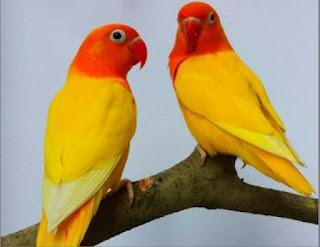 MELATIH MENTAL LOVEBIRD MUDA