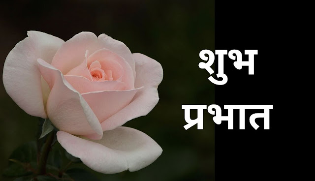 शुभ प्रभात white rose Image