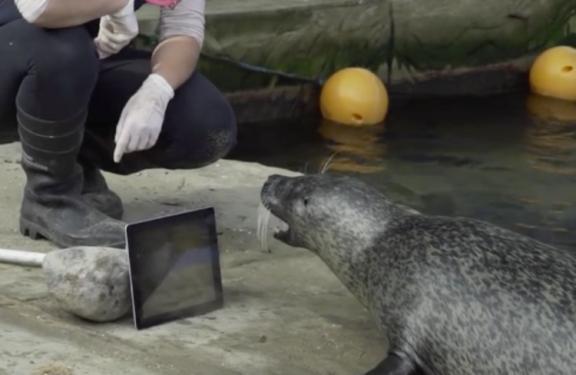 Cặp đôi hải cẩu yêu xa gặp nhau mỗi ngày qua... facetime