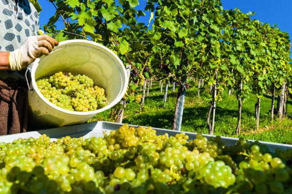 Εξαιρετικά κρασιά στην Πελοπόννησο από τον φετινό τρύγο