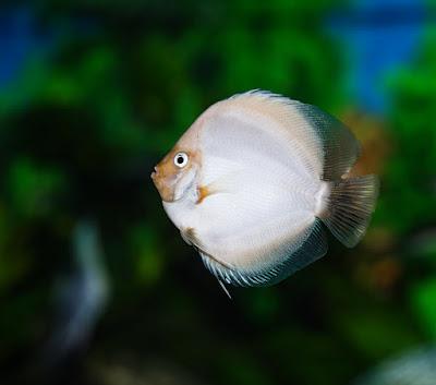 Harga Ikan Discus White Diamond