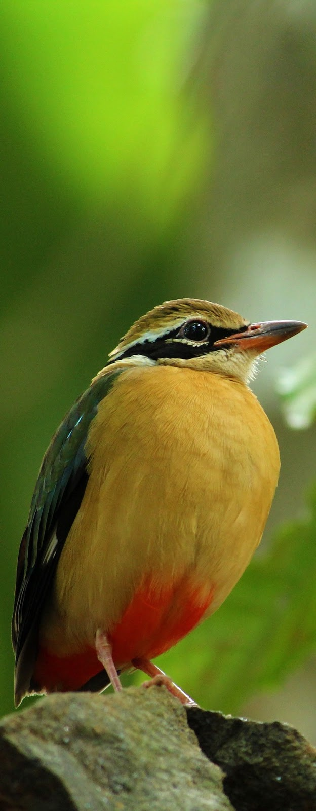 Picture of an Indian pitta.