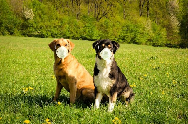 Can Dogs Get CoronaVirus ? FAQs for pets Owners-Covid-19 And Animals