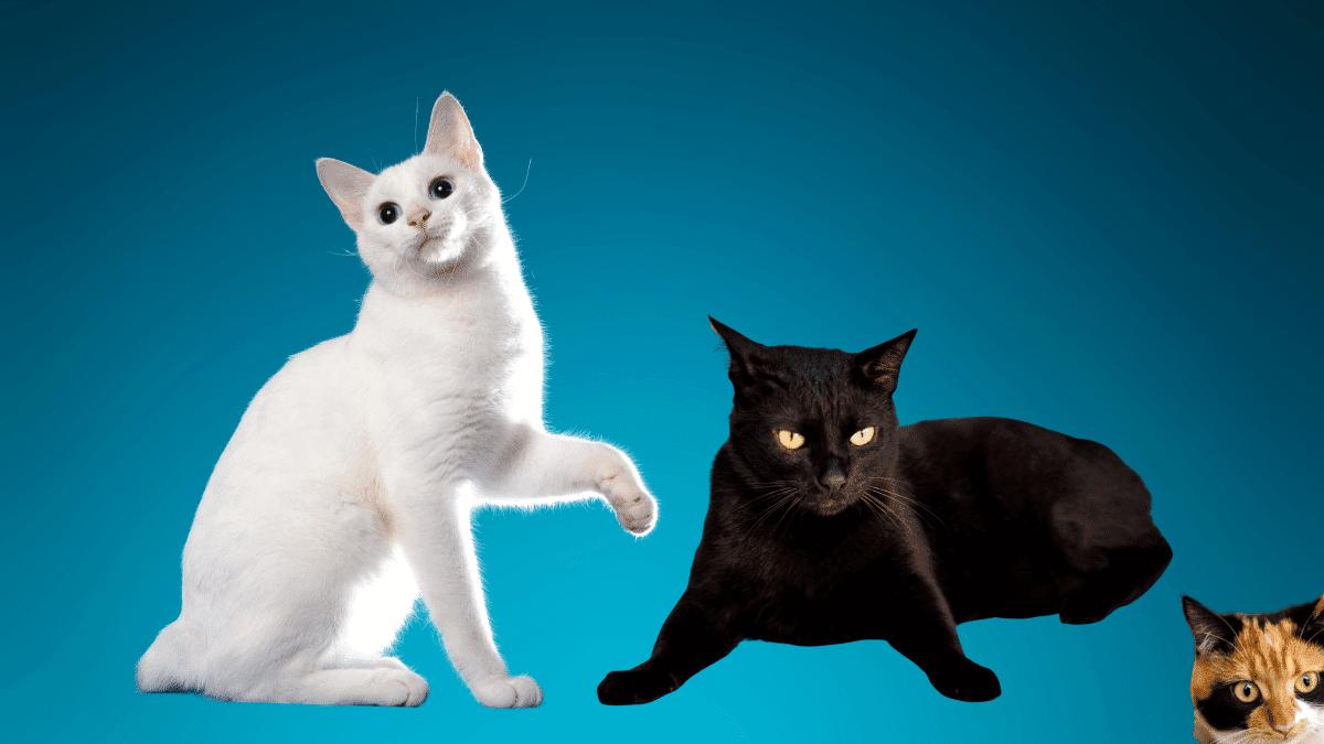 Bobtail Japonés blanco y negro