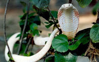 кобра альбинос фото