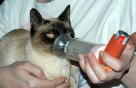 gatos-asma-bronconeumonía-cuidados