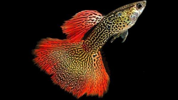 15 Jenis Ikan Guppy Termahal Dan Paling Sulit Didapatkan